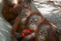 Nyaru Menteng - Orangutan Rehabilitation Centre