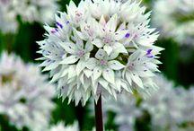 Flores - ALLIUMS