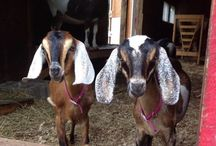 Farm Animals / Our happy animals here at Museum Village