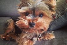 Cute Yorkies / Pets