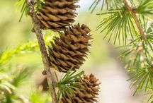 Crazy About Pine Cones and Naturals..........