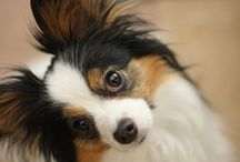 I Love My Papillon
