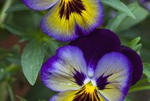 Pansies. They aren't pansies!