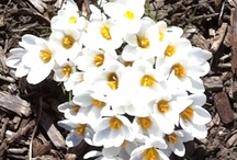 Flower bulbs in gardens