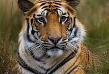 tygři/Tiger