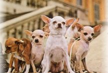 Gracies Relatives  Los Chihuahuas / by MARY Peck