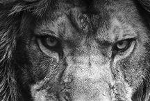 Sporting leão animais