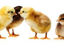 цыплята /chicken