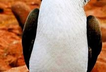 Blue footed Booby / What a cute little creature!