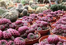 sulcorebutia / cactus, succulents, plants, giromagi, bloom
