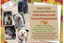 Havanese Rescue Inc's Annual Online Auction 2014 / Our annual online auction raises funds for all of our rescue dogs. We need funds to provide transportation, medical treatment, dentals, grooming, etc.