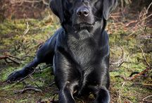 Labs/Golden Doggies! / pics of Labs.  Yellow, brown, or black and Golden Retrievers. / by Susan Spradley