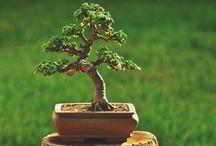 Bonzai ağaçları
