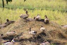 Homestead - Ducks / by Robyn Guptill