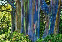 Rainbow bark Hawai