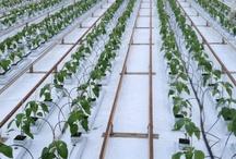 De teelt / Het groeiproces van onze heerlijke groenten
