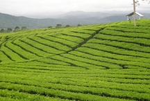 Tea Around the World / Tea is a truly universal beverage. / by Capital Teas