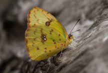 Butterfly / Enchanting butterfly wings