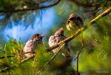 Luontokuvia/Nature photos / Kuvia linnuista/Bird photos