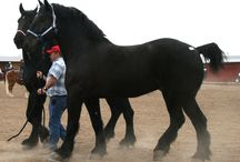 Georgie & Dakoda / Our Percheron Horse & Tennessee Walker / by Jennifer Gates
