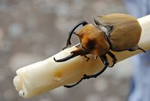 escaravelho