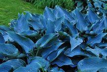blue hosta