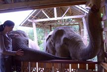 Elephant Rescue Adventure in Thailand / Located in Thailand, BLES is devoted to creating a safe & natural environment for elephants. No shows, no tricks - Just elephants being elephants.