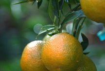 Φρούτα-οπωροφόρα