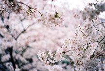 Sakura ``☂