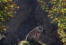 Tigriskék