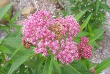 Milkweed for Monarchs / These plants help create habitat for Monarch Butterflies that are struggling with migration. Beautiful, showy colors and a home for butterflies...what more could you ask for?