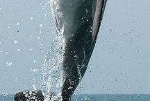 Dauphins / Mon animal préféré