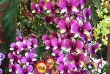 """""""ORQUÍDEAS"""" / Todos os tipos de orquídeas encontradas na natureza ou cultivadas em laboratórios e estufas."""