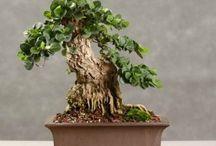 Grow: Bonsai
