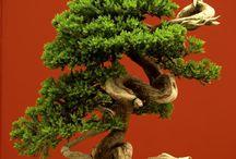 bonsai sofia