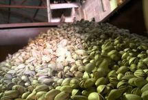 Pistachios nuts factory