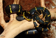 Rear-fanged Snakes / Beautiful Rear-fanged Snakes from around the world. Some on exhibit at The Serpentarium - A Living Reptile Museum