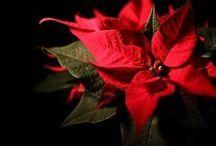 curare la stella di Natale x prendere le sue foglie rosse