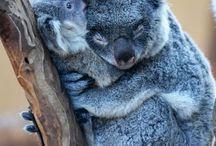 Koalas/lapins