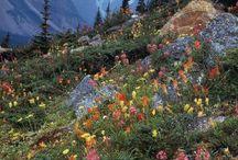 dağ çiçek