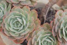 Garden - Suculents / by Pilar Ayerza