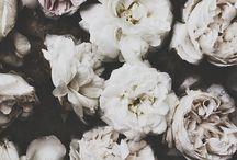 Weiße Rosen Hintergrund