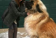 Leonbergers♥ / by Kelsey ☯