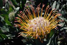 Protea Family Plants We Grow / We love plants in the protea family. They have beautiful flowers and foliage, require minimal water and actively dislike fertilizer, and thrive in containers and sandy and gritty soils around San Francisco and coastal California.