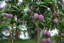 Dojrzewanie owoców / Proces dojrzewania owoców jest kluczowy dla jego walorów smakowych. Jedynie ekologiczne i zdrowe owoce mają tak pyszny smak!