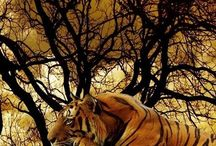 tigers my biggest love <3
