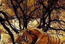 Tygrysy i inne duże koty