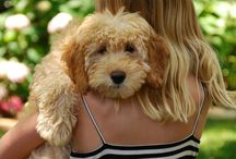 Golden Doodles / Great golden doodle faces