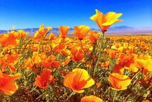 Antelope Valley California Poppy Reserve SNR