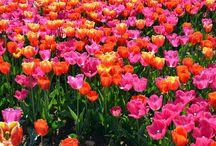 Tulipani Italiani / Visita al campo di Tulipani Italiani presso Cornaredo (MI)